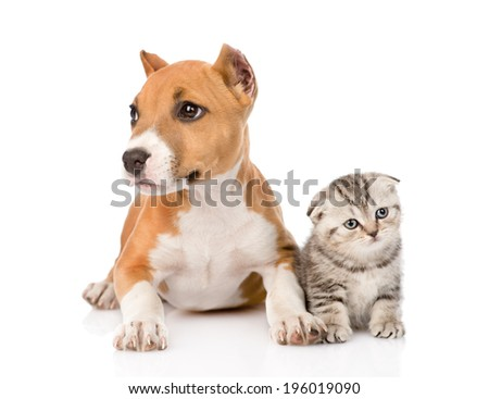 stafford puppy and scottish kitten together. isolated on white background