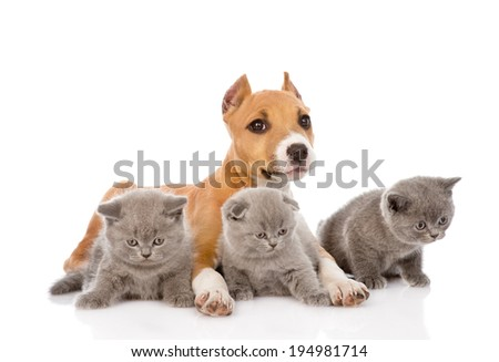 stafford puppy and three kittens lying together. isolated on white background - stock photo