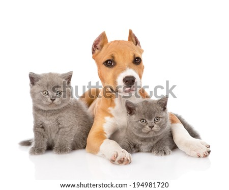 stafford puppy and two kittens lying together. isolated on white background - stock photo