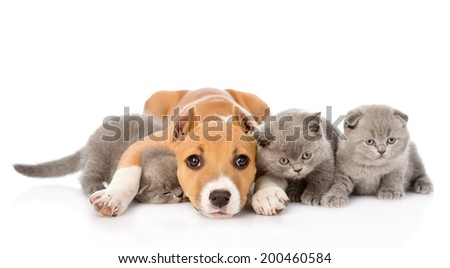 stafford puppy embracing kittens. isolated on white background - stock photo