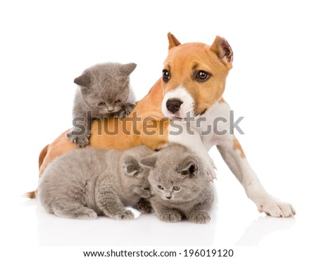 stafford puppy playing with kittens. isolated on white background