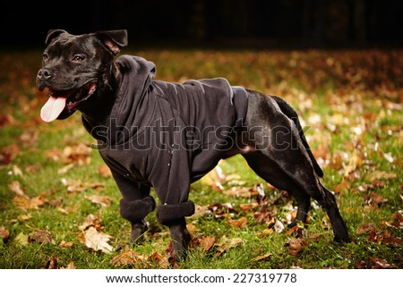 Stafford shire bull terrier 14 months old - stock photo