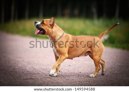 stafford terrier dog in nature
