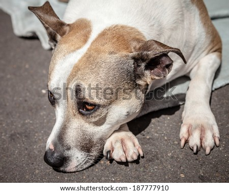 Staffordshire Bull Terrier dog waiting on a blanket on the street lying down with head on paws