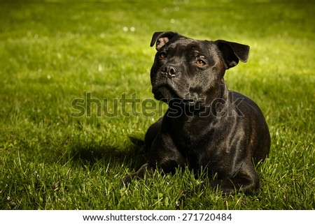 Staffordshire bull terrier in green grass - stock photo
