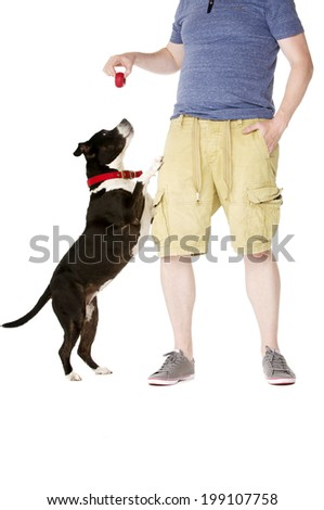 Staffordshire Bull Terrier jumping up at owner - stock photo