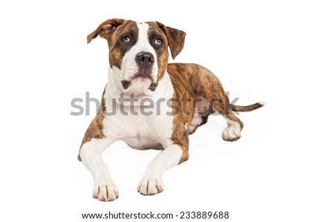 Staffordshire Bull Terrier Mix Breed Dog laying while looking upwards.  - stock photo