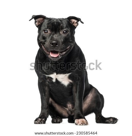 Staffordshire Bull Terrier (9 months old) - stock photo
