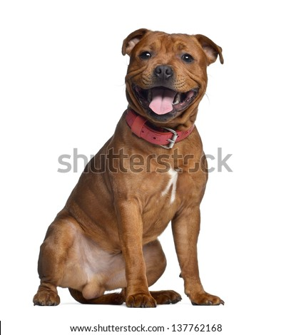 Staffordshire Bull Terrier, 9 months old with red collar, isolated on white