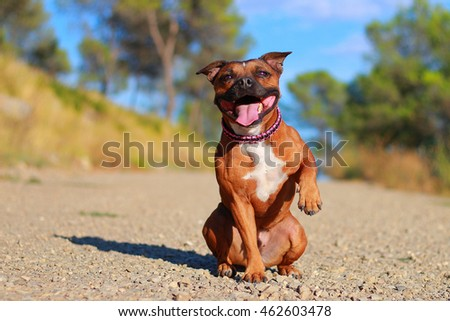 staffordshire bull terrier obedience