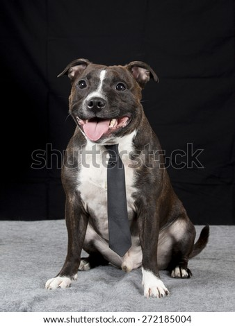 Staffordshire Bull Terrier portrait with a black tie. - stock photo