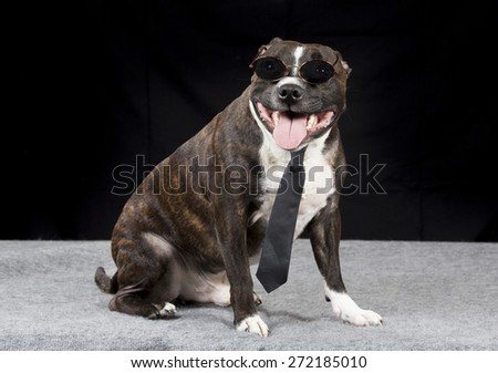 Staffordshire Bull Terrier portrait with a black tie and sunglasses. - stock photo