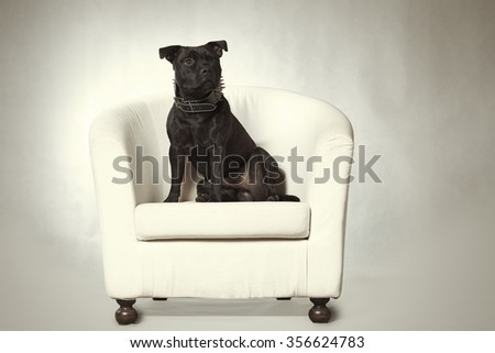 Staffordshire bull terrier posing in chair