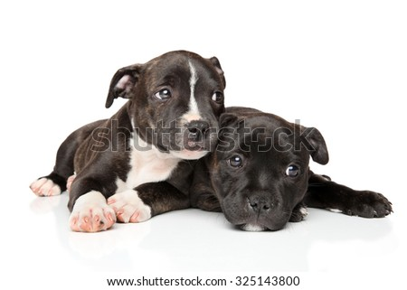 Staffordshire bull terrier puppies resting in front of white background - stock photo