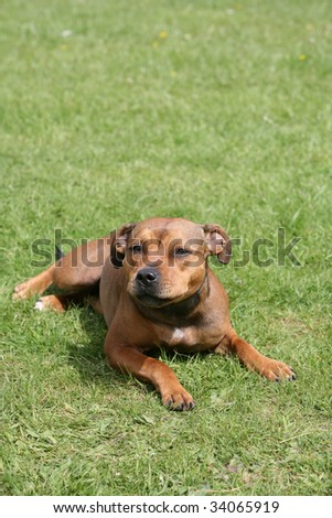 Staffordshire Bull Terrier Puppy Dog