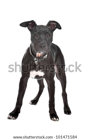Staffordshire bull terrier puppy in front of white background