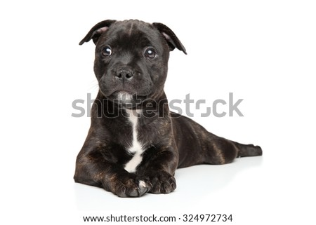 Staffordshire bull terrier puppy on a white background - stock photo