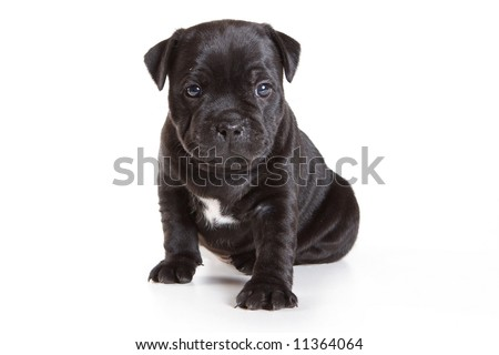 Staffordshire Bull Terrier puppy on white - stock photo