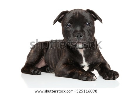Staffordshire bull terrier puppy resting in front of white background - stock photo