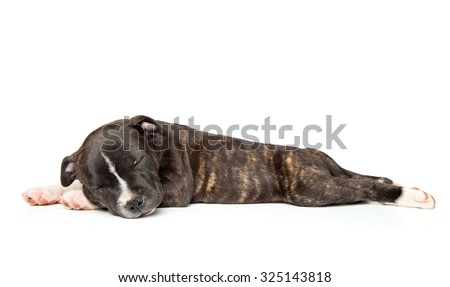 Staffordshire bull terrier puppy sleep on a white background side view - stock photo