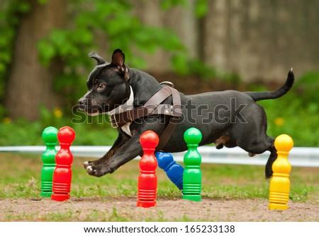 Staffordshire bull terrier running through skittles - stock photo
