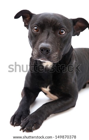staffordshire bull terrier studio shot, white background