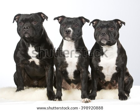 Staffordshire portrait. Three staffordshire dogs are sitting next to each other. Image taken in a studio. - stock photo