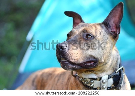 Staffordshire Terrier - stock photo