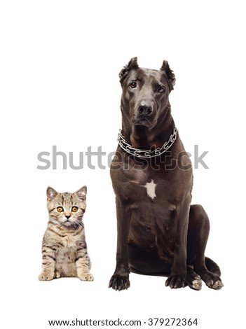 Staffordshire terrier and kitten Scottish Straight sitting together isolated on white background - stock photo