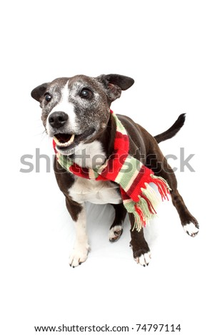 Staffordshire Terrier cross breed wearing scarf and panting - stock photo