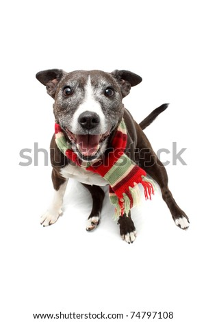 Staffordshire Terrier cross breed wearing warm scarf and panting - stock photo