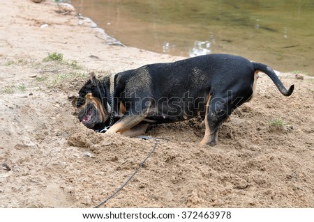 Staffordshire Terrier dog digging sand on the nature