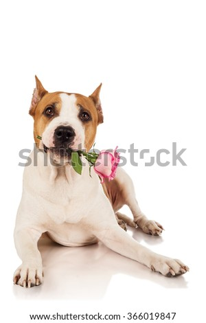 Staffordshire terrier dog with rose