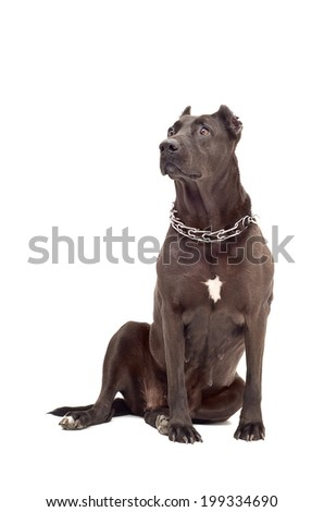 Staffordshire Terrier isolated on a white background - stock photo