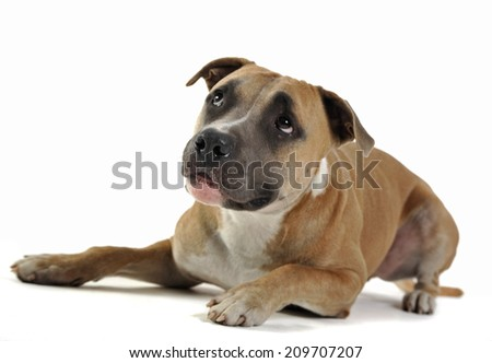 Staffordshire Terrier looking up i white background