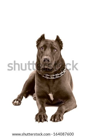 Staffordshire terrier lying on a white background - stock photo