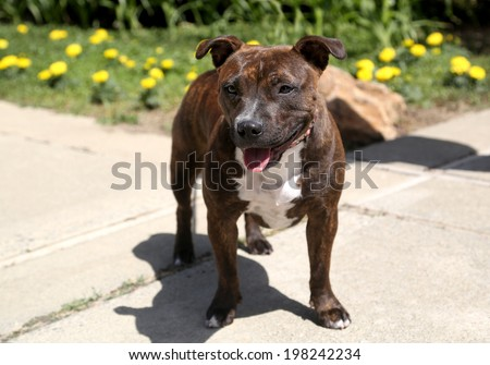 Staffordshire Terrier posing for her picture outdoors - stock photo