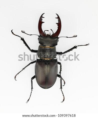stag-beetle/lucanus cervus - stock photo