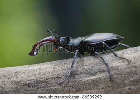 Stag beetle (Lucanus cervus) - stock photo