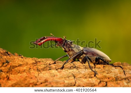 Stag Beetle (Lucanus cervus) on the tree trunk. Big horned beetle perched on the bark. - stock photo