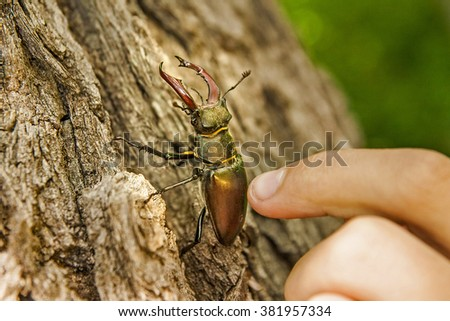Stag-beetle on bark of a tree and a hand of the person who touches him - stock photo