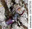 Stag beetle on the bark of a tree. Lucanus cervus - stock photo