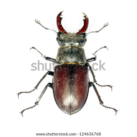 Stag beetle on the white background - stock photo
