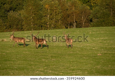 Stag deer (Cervus elaphus) in the park during the annual deer rut in Killarney National Park,Ireland - stock photo
