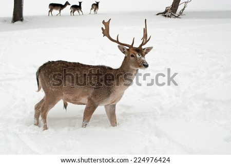 Stag in Winter - stock photo
