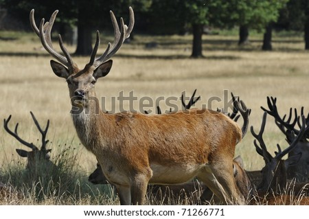 Stag Red Deer Standing - stock photo