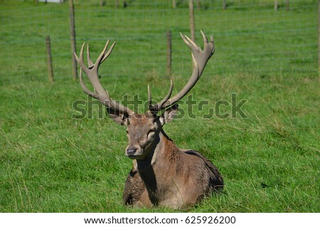 Stag sat in field