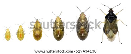 Stages development of a insidious flower bug (Orius sp.) isolated on a white background