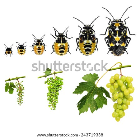 Stages development of a plant bug and grapes isolated on a white background
