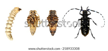 Stages development of Asian long-horned beetle isolated on a white background - stock photo